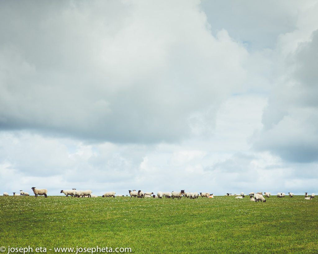 a photo of a herd of sheep grazing on the land in Cornwall