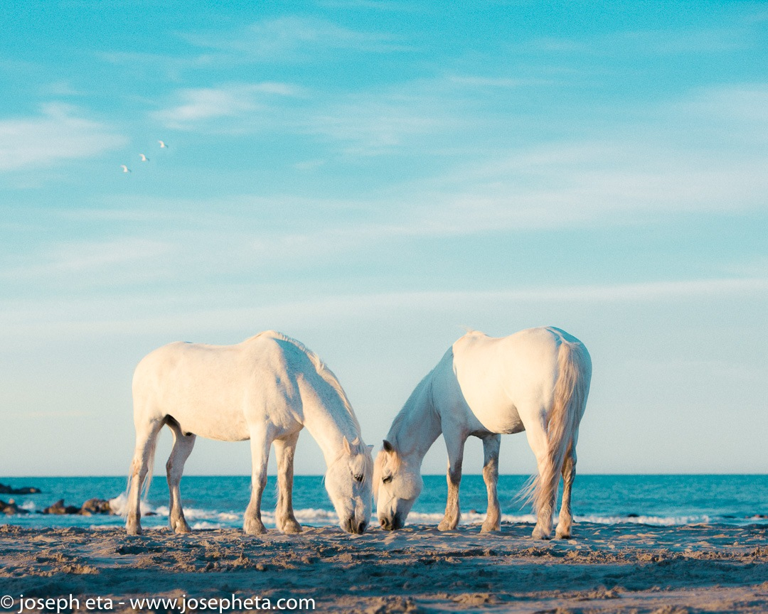 Two white horses grazing at the beach