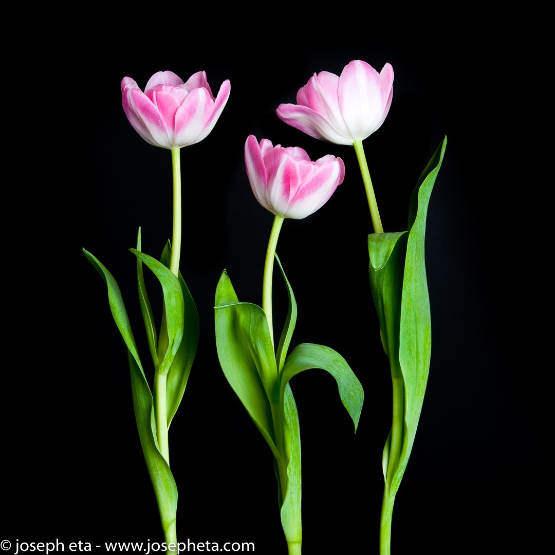 Three pink flowers against a black background.